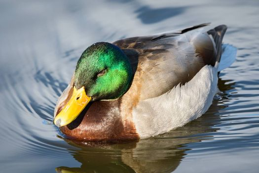 Common Waterfowl in Colorado. Male Mallard Duck in a Lake.