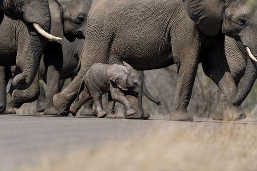 Elephant calf, baby elephant
