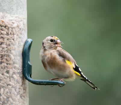 European Goldfinch Juvenile