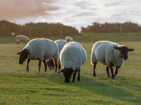 Suffolk Sheep Ewes at Sunrise