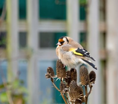 European Goldfinch Adult on Seedhead