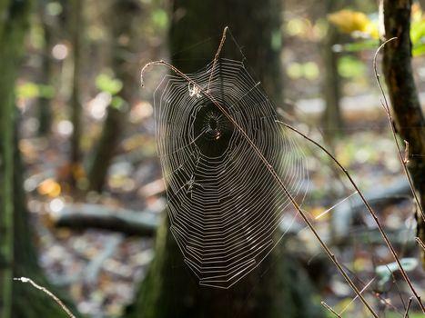 Spider Web Backlit