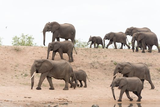 Elephant herd Africa