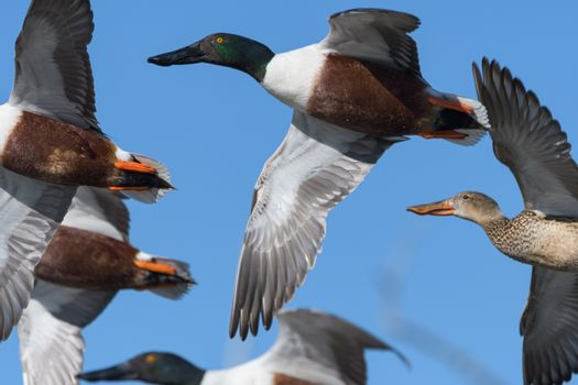 Common Waterfowl in Colorado. Northern Shoveler Duck flying above water with wings extended.