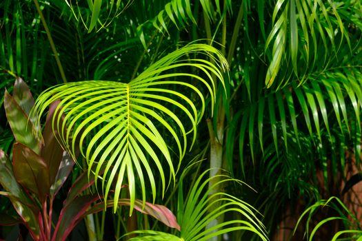 Closeup Tropical palm leaves, tropical jungle palm foliage greenery background.