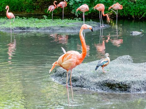 A group of colorful flamingos bathing in the pond