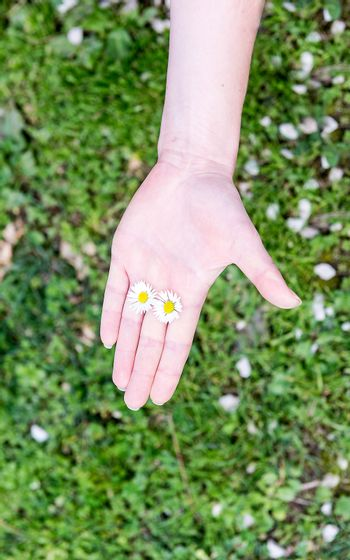 A female hand holding 2 daisies among fingers on a grass background