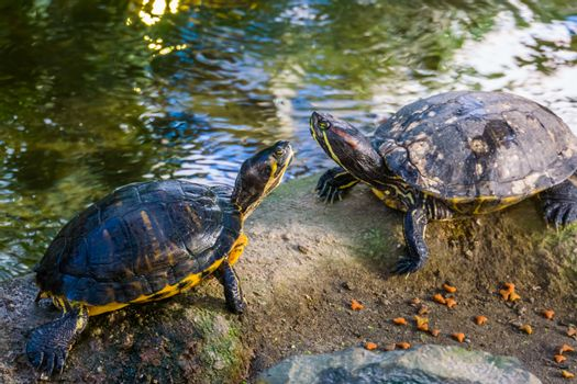 cumberland slider turtle couple together on a rock, tropical reptile specie from America