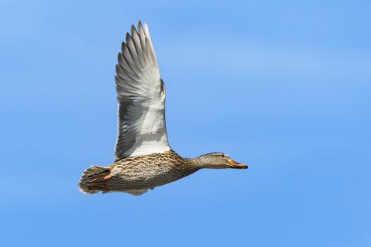 Common Waterfowl in Colorado. Female Mallard duck flying in a blue sky.