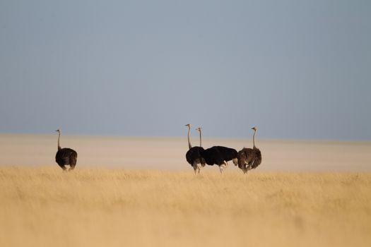 Ostrich in the wilderness