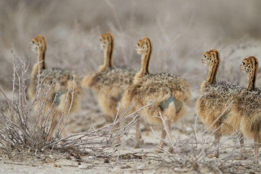 Ostrich chicks in the wilderness