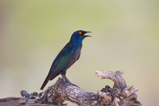 Glossy starling in the wilderness