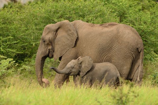 Elephant calf in the wilderness