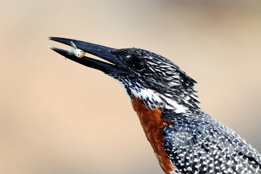 Giant kingfisher in the wilderness