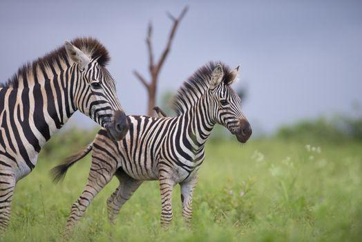 Zebra foal in the wilderness
