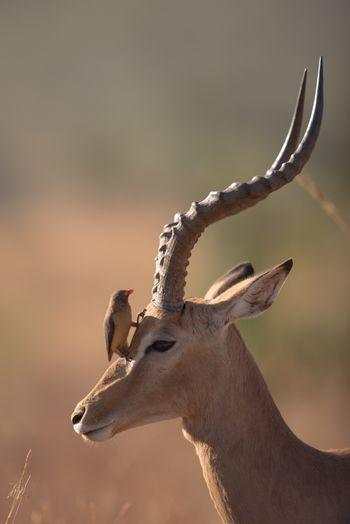 Impala in the wilderness