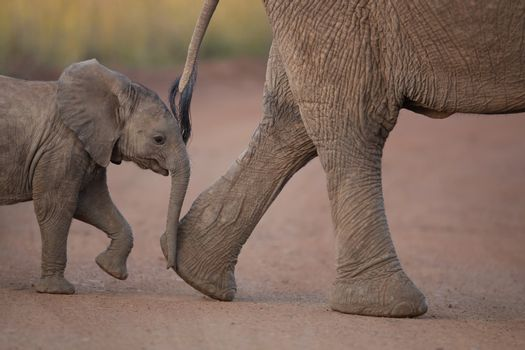 Elephant calf in the wilderness of Africa