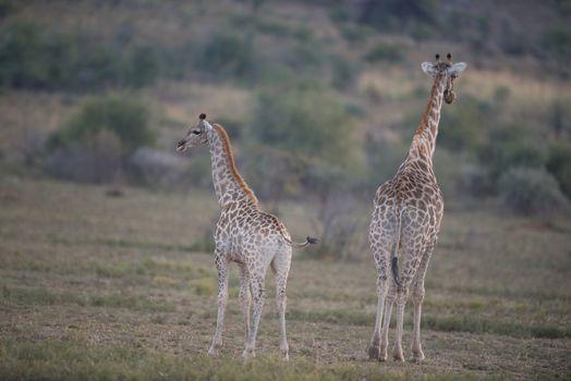 Giraffes in the wilderness