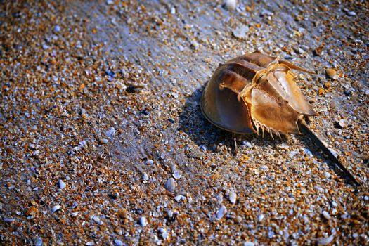Horseshoe Crab on the coast covered by seashells