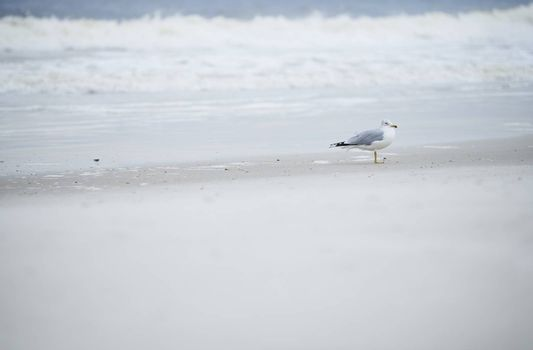 Single seagull at the ocean beach