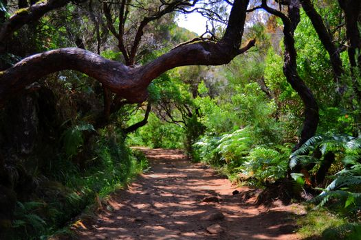 Sand trail in a green forest on the island of Madeira, between lush and wonderful trees.