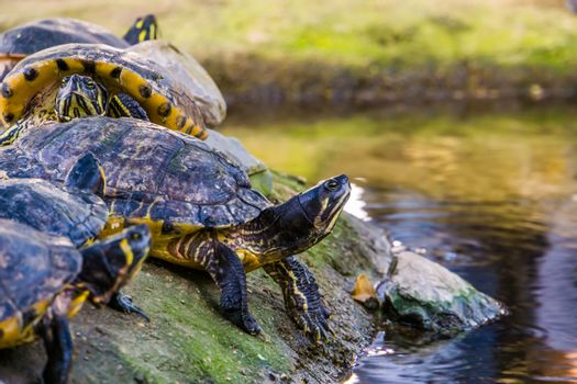 closeup of a yellow bellied cumberland slider turtle at the water side, tropical reptile specie from America