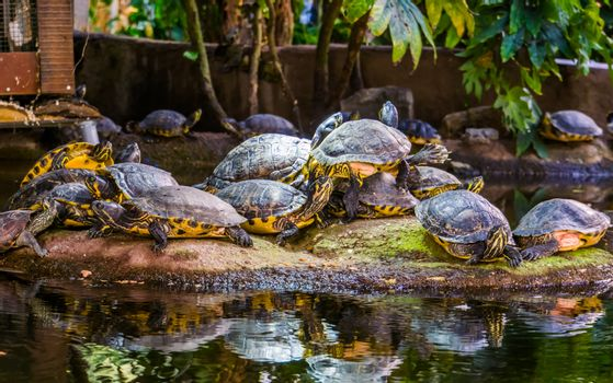 big yellow bellied cumberland slider turtle nest together on a rock, tropical reptile specie from America