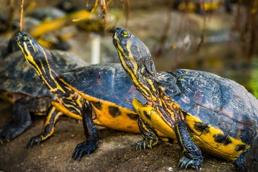 closeup of a cumberland slider turtle with other swamp turtles in the background, tropical reptile specie from America