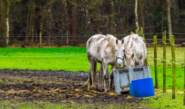 closeup of a white horse couple eating hay together, pet and animal care
