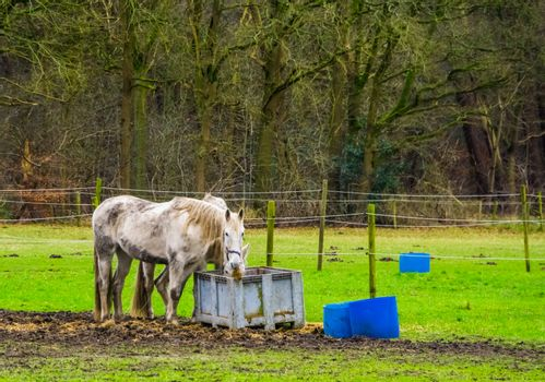 white horse couple eating hay out of basket together in the pasture, pet and animal care