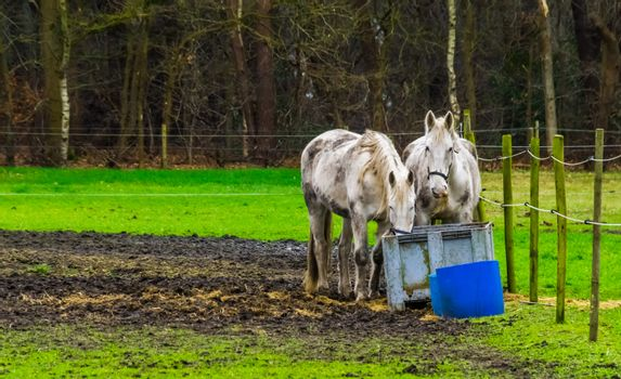 white horses eating hay out of a basket together in the pasture, pet and animal care