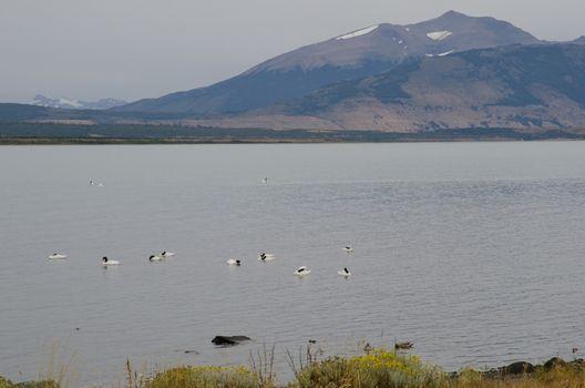 Black-necked swans Cygnus melancoryphus on the sea.