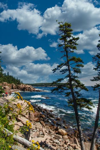 Acadia Coast with Flowers and Pines