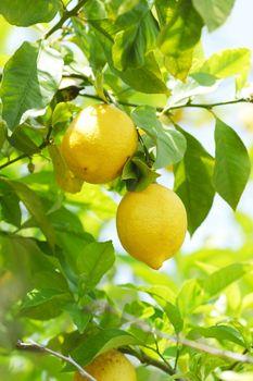 Lemon fruit close up hanging on tree brunch