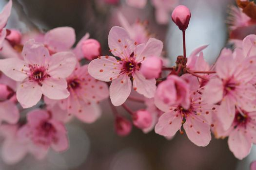 Close-up image of the blossom on a Prunus serrulata, flowering cherry tree. Spring time