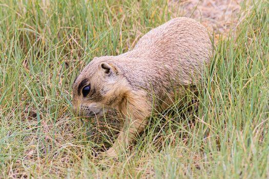 Curious Prairie Dog Guarding His Burrow in Colorado