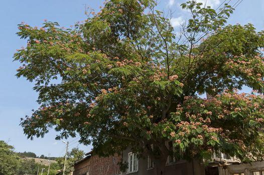 Albizia julibrissin Durazz  or Persian, mimosa tree with beautiful flowers in Sredna gora mountain, Bulgaria