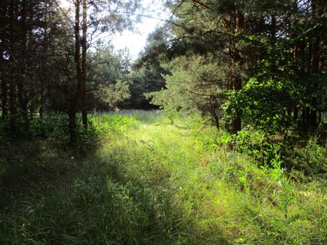 Photo of the edge of the forest, flooded with sunlight, summer