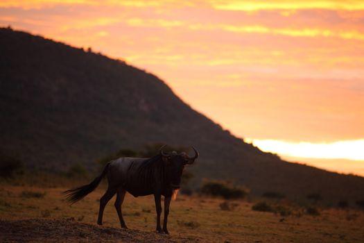 Wildebeest in the wilderness