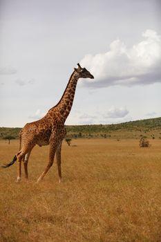 Giraffe in the wilderness of Africa