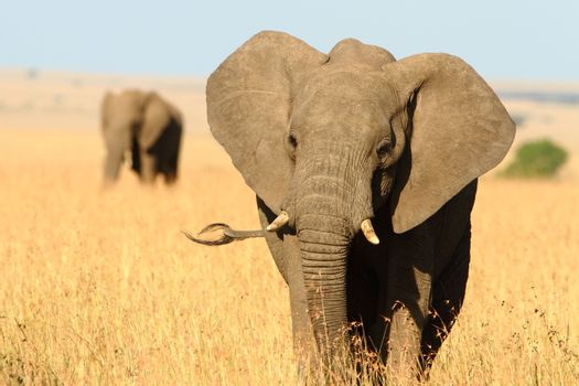 Elephant in the wilderness