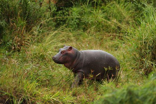 Hippopotamus calf Elephant in the wilderness