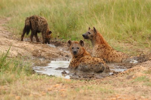Hyena in the wilderness