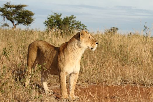 Lioness in the wilderness of Africa