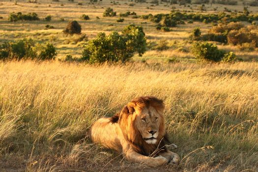 Lion in the wilderness of Africa