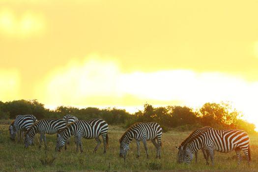 Zebra in the wilderness