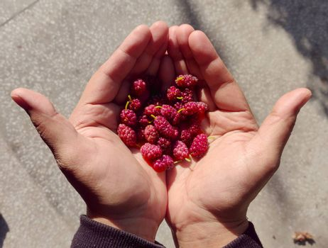 Holding fresh Mulberry right out of farm in hand in daylight