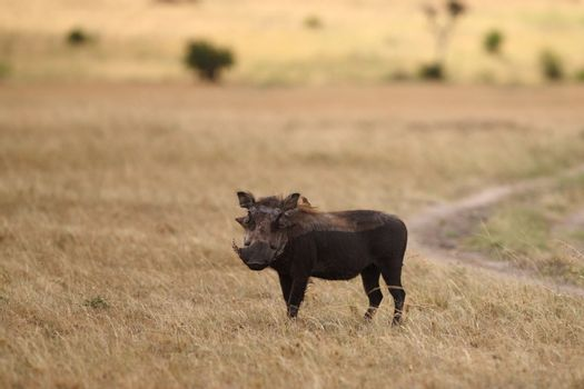 Warthog in the wilderness of Africa