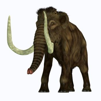 The Woolly Mammoth was a herbivorous elephant that lived in Asia, Siberia and North America during the Pliocene and Pleistocene Periods.
