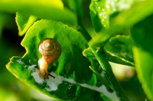 Snail crawling on tea leaf in morning close up.